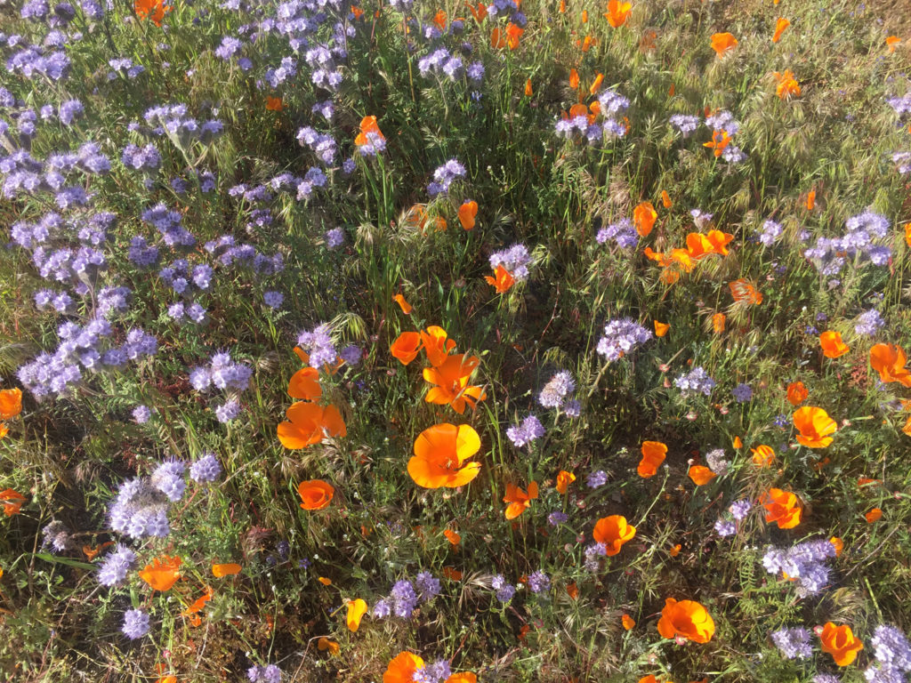 Poppies and Phacelia in the Antelope Valley